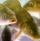При кормлении рыбы и спортивной рыбалке
