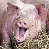 При содержании свиней
